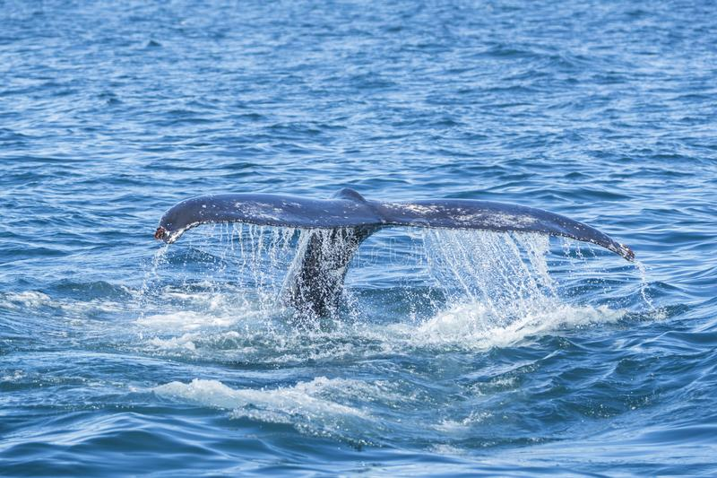 Detail of humpback fin tail, Iceland royalty free stock image
