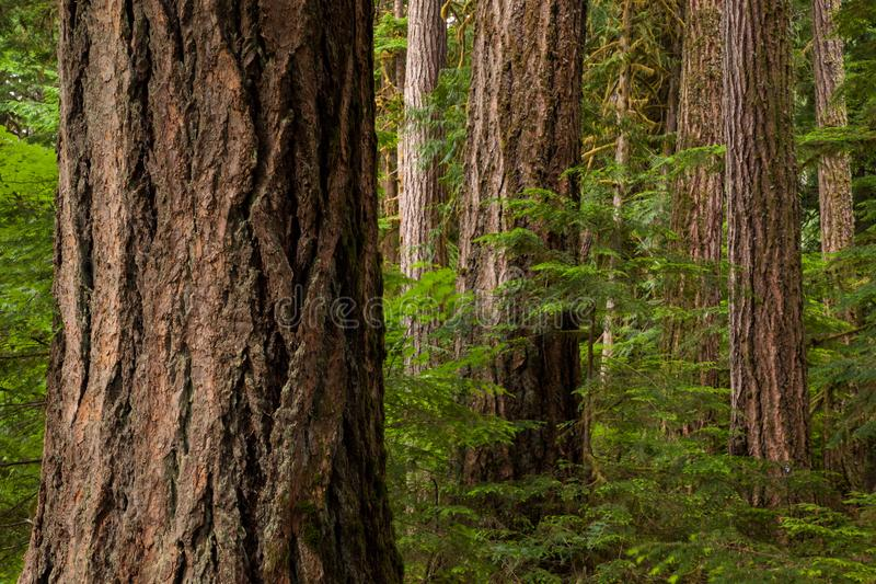 Detail image of big tree trunks in the forest of North Cascades National Park, Washington stock images