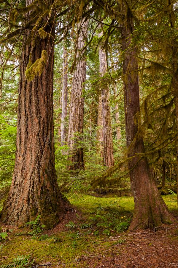 Detail image of big tree trunks in the forest of North Cascades National Park, Washington royalty free stock photos