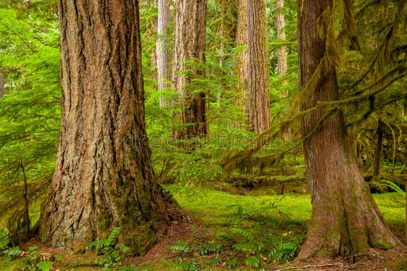 Detail image of big tree trunks in the forest of North Cascades National Park, Washington stock photos