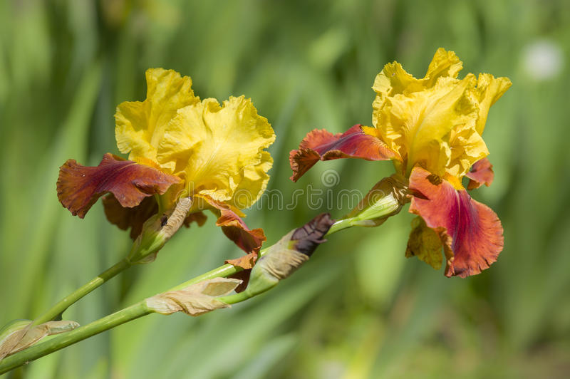Detail of Iris flower. In full Spring bloom stock photography