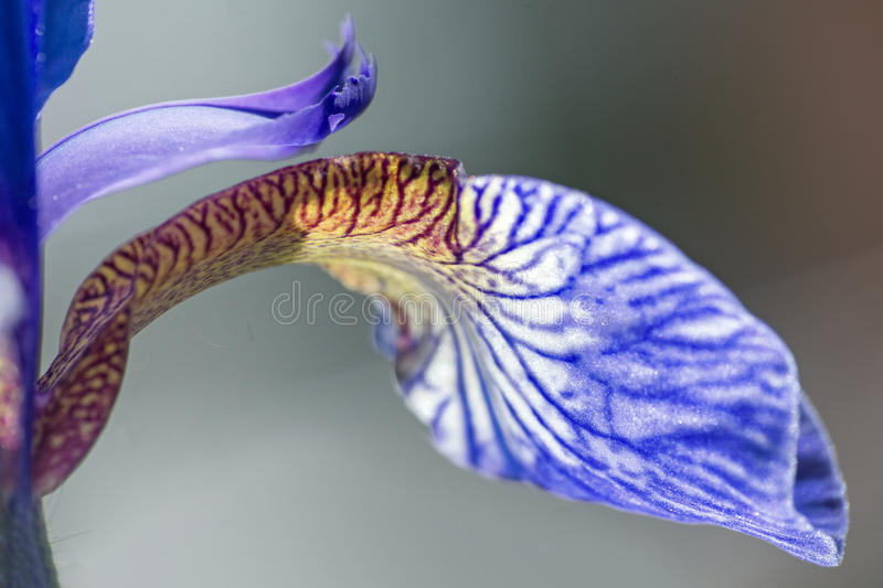 Detail from an iris sibirica in bloom, macro shot, abstract bac stock photo