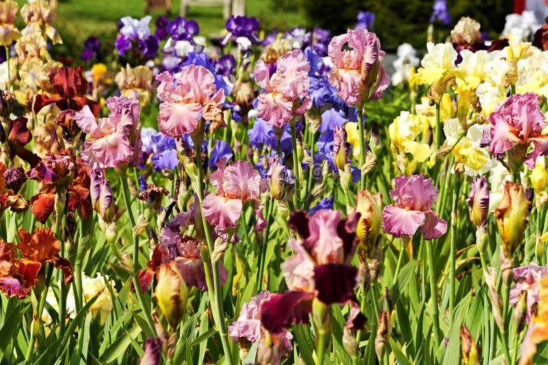 Detail irises. Background of different colored irises, irises blooming in ornamental garden stock photography