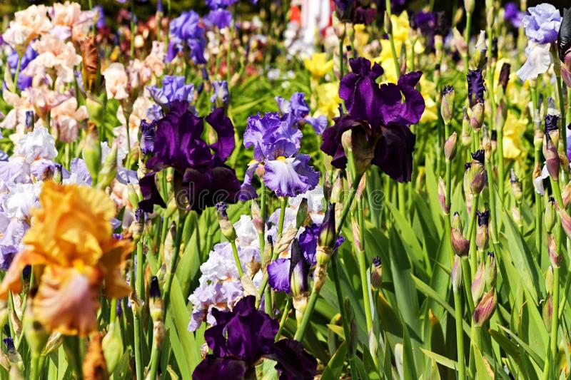 Detail irises. Background of different colored irises, irises blooming in ornamental garden stock image