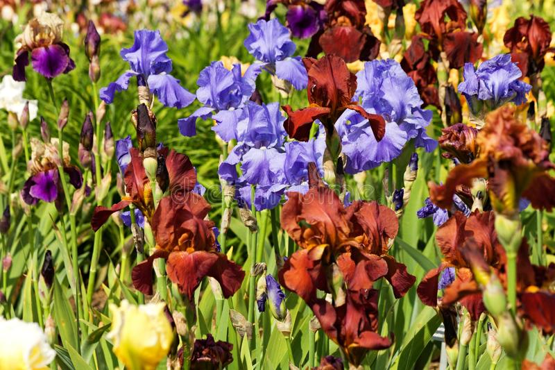 Detail irises. Background of different colored irises, irises blooming in ornamental garden royalty free stock images