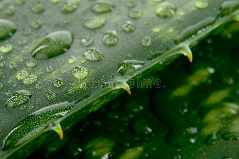 Aloe leaves with drop of water royalty free stock image
