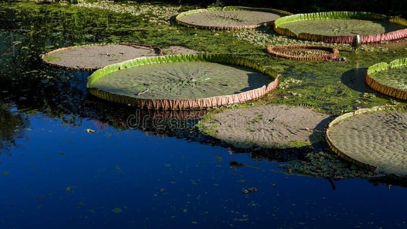 Detail leaf lotus on  Water surface stock image