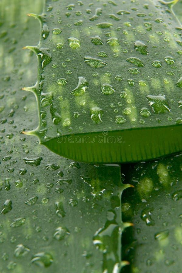 Aloe Vera detail stock photography