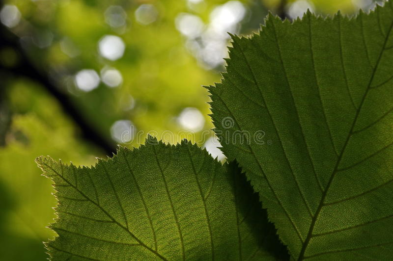Green leaves in the forest. Detail of the leaves in the backlight. Green background royalty free stock image