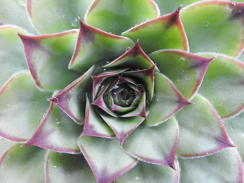 Detail of leaves of a plant called succulent stock image
