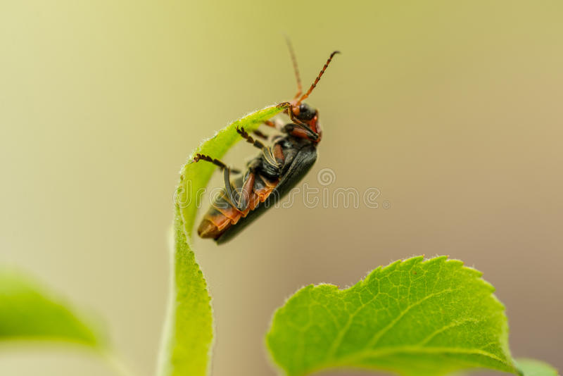 Detail of lighting bug on leaf royalty free stock photography
