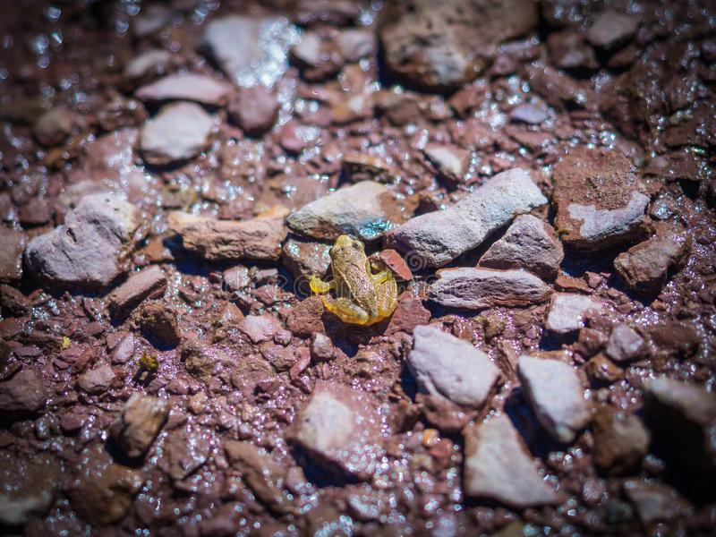Little Pyrenees frog in Astun ski station royalty free stock photography