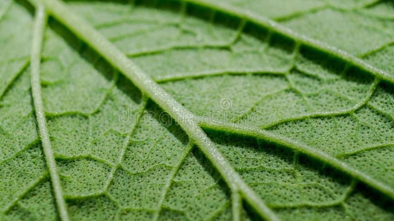 Detail macro of green leaf texture. Background royalty free stock image