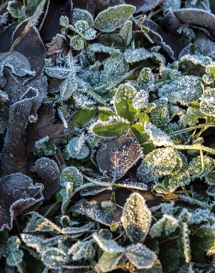Detail of many different frozen and iced crisp leaves on the ground covered in frosted hoar frost a cold fresh winter stock image