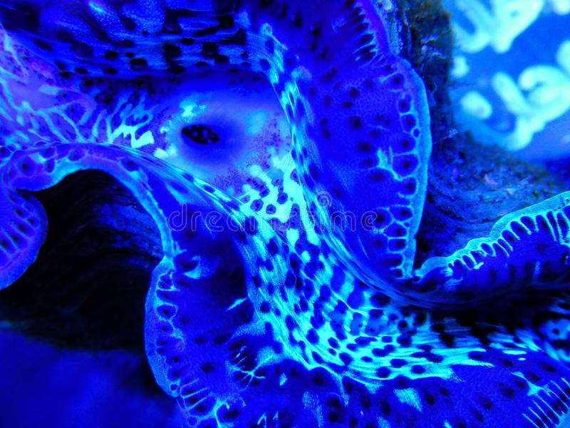 Blue maxima clam underwater. Detail of a maxima clam mantle living in a captive marine aquarium system royalty free stock photos