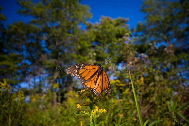 Detail of monarch butterfly Danaus plexippus in Ontario provin. Detail of monarch butterfly Danaus plexippus before migrating in Rondeau provincial park royalty free stock image