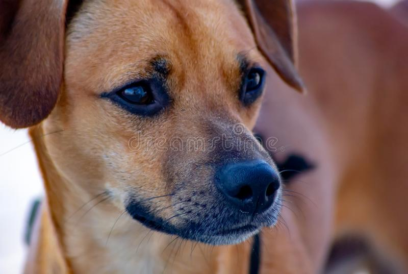 Detail of mongrel dog, the portrait of the face, brown unspecified breed do stock photography