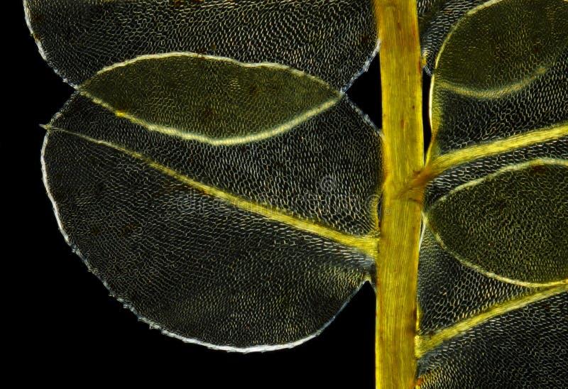 Detail of moss Plagiomnium affine in polarized light. Microscopic view of moss Plagiomnium affine. Polarized light, crossed polarizers stock photo