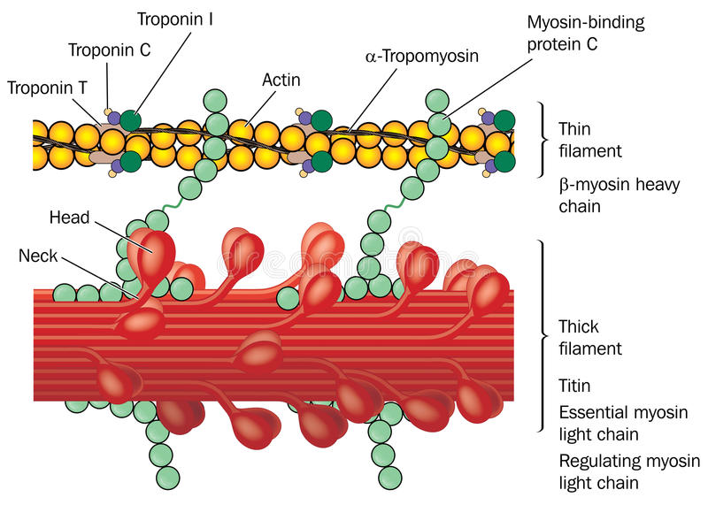 Detail of muscle physiology. Detail of muscle tissue showing actin and myosin, troponin complex, thin filaments and thick filaments. Created in Adobe Illustrator royalty free illustration