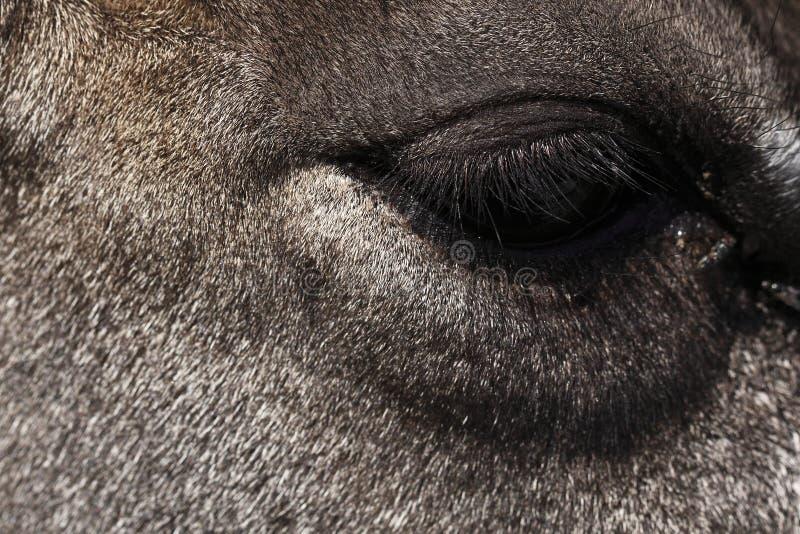 Detail of nilgau head stock image