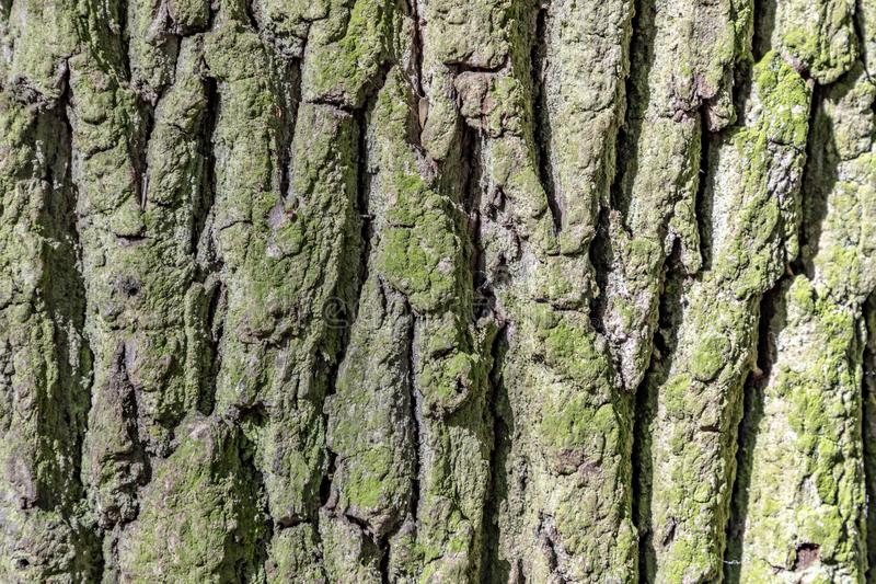 Oak tree bark royalty free stock photos