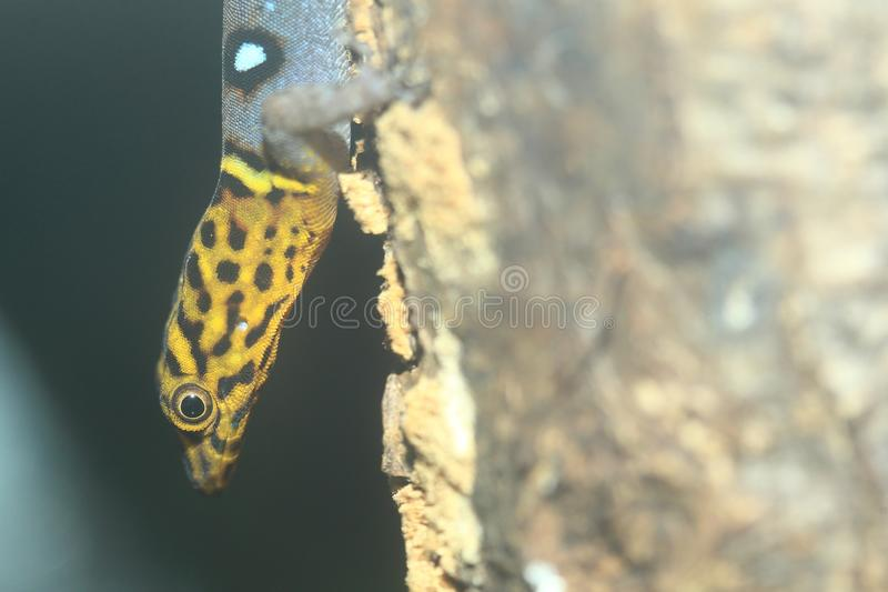 Ocellated gecko. The detail of ocellated gecko stock image