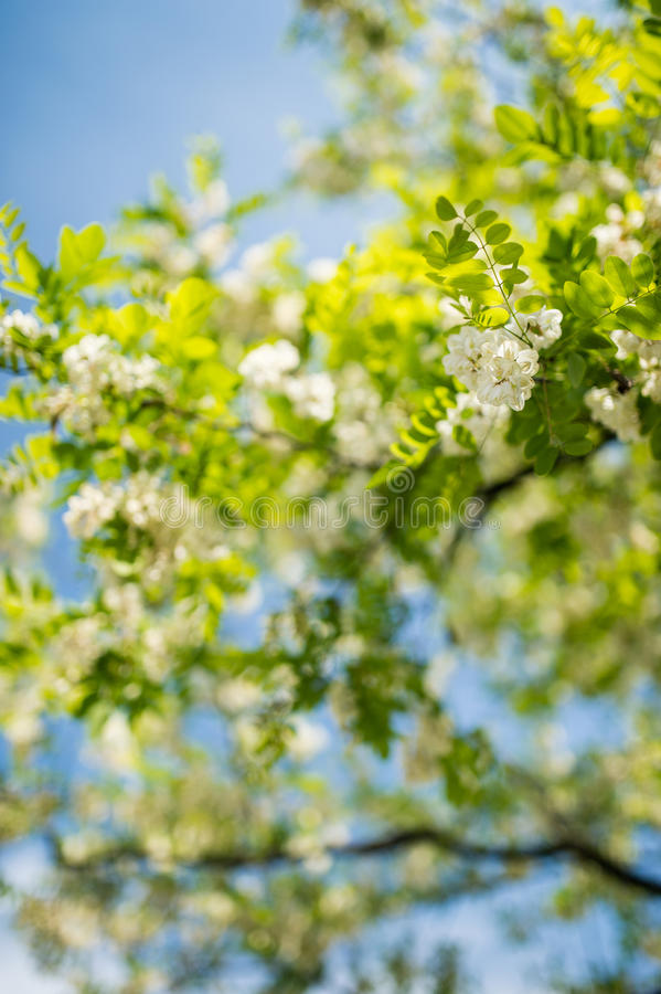 Free Detail Of Blossoming Robinia Tree With Extremely Soft Background Stock Image - 40806261