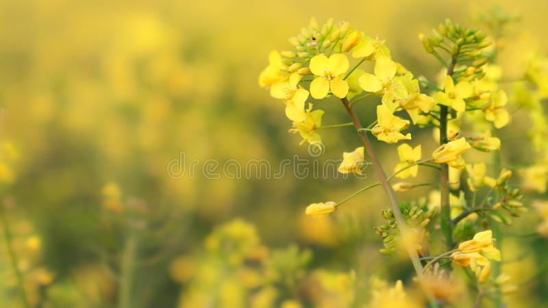 Detail oilseed rape. Detail flower for agriculture. Detail field oilseed stock photos