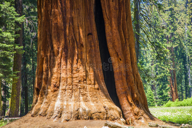 Detail of old sequoia trees stock images