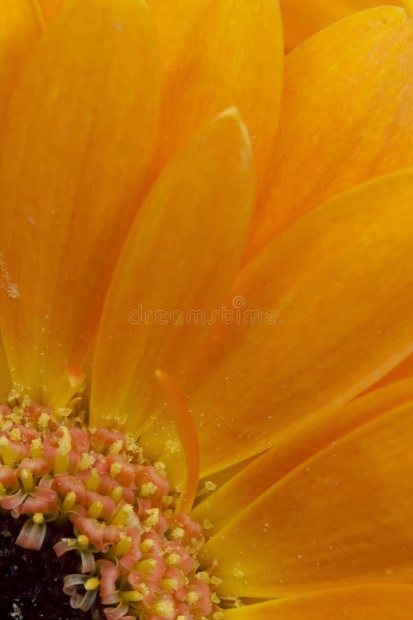 Detail of orange gerbera royalty free stock photo