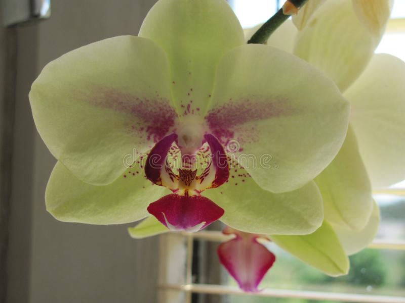 Detail of orchid flower from the house. royalty free stock images