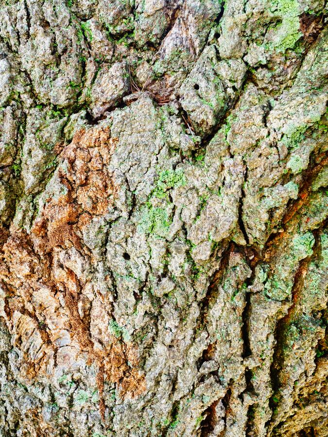 Pale Green Lichen on Cracked Textured Tree Bark Abstract Pattern royalty free stock photo