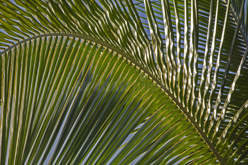 Download Detail of a palm frond stock image. Image of detail, plant - 12646355