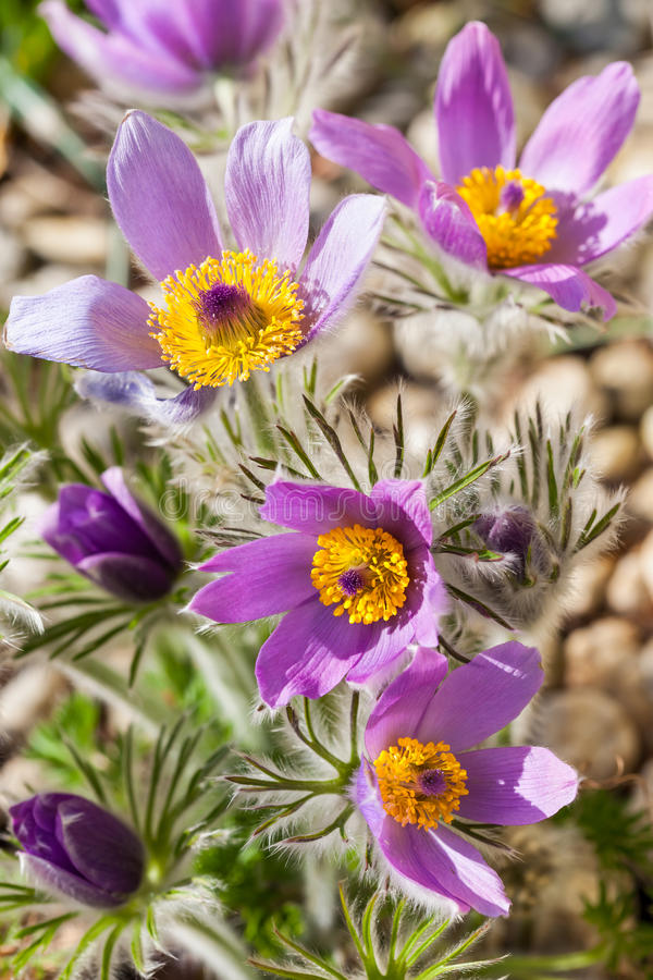 Detail of pasque flower royalty free stock images