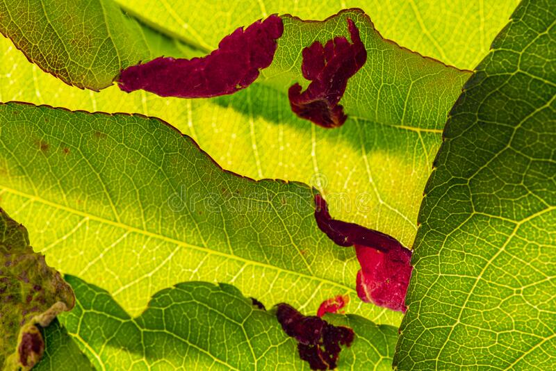 Detail of peach leaves with leaf curl Taphrina deformans disease royalty free stock image