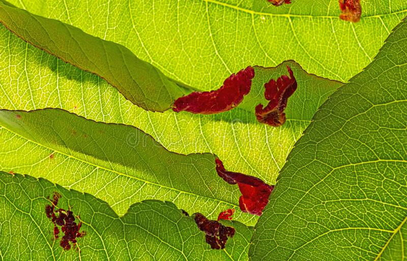 Detail of peach leaves with leaf curl Taphrina deformans disease stock photos