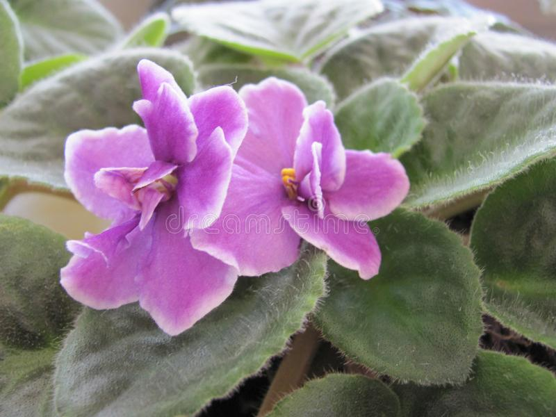 Detail photo of violet flower stock photo