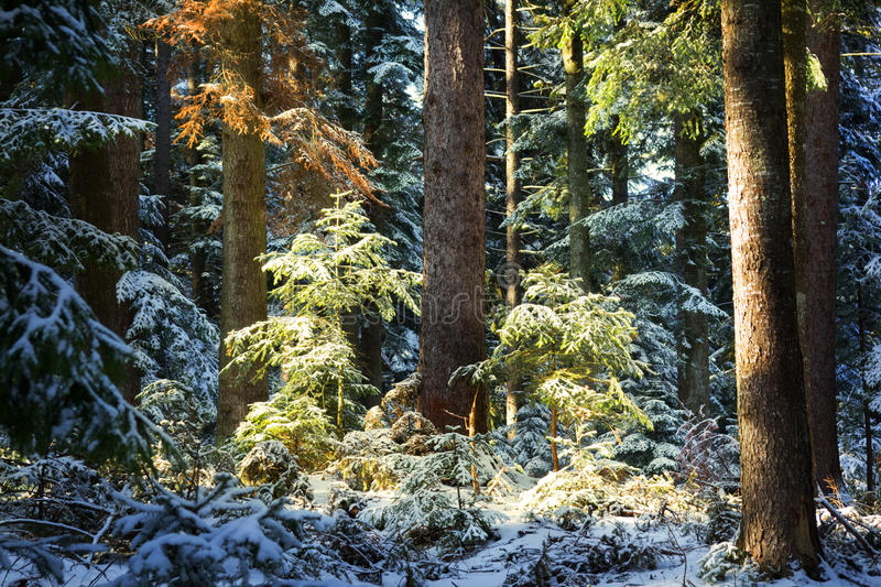 Detail Of Pine Trees During Winter Royalty Free Stock Images