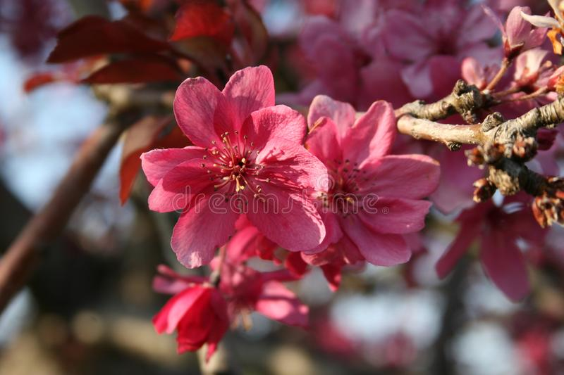 Pink apple blossom. Detail of a pink apple blossom, pink blossom in spring stock photography