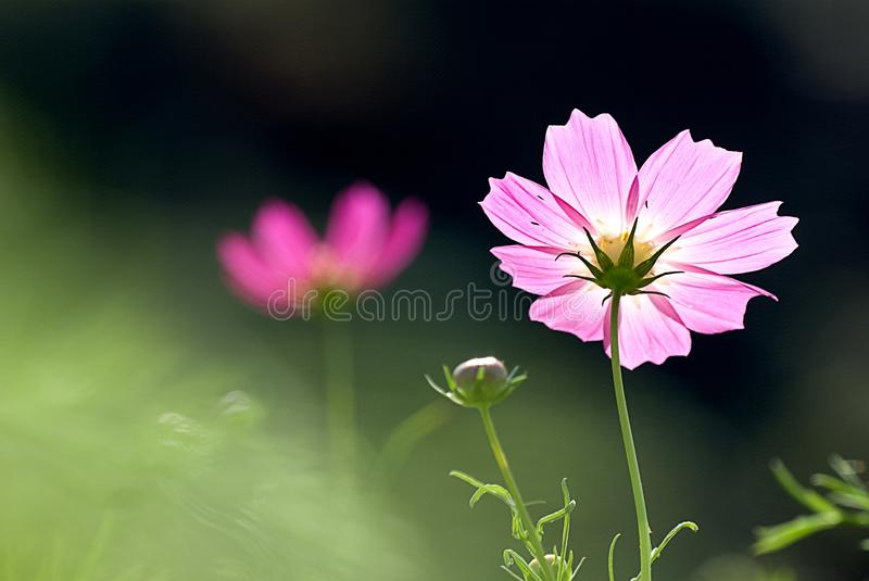 Detail Pink Chrysanthemum for background. Pink Chrysanthemum for background use stock photography