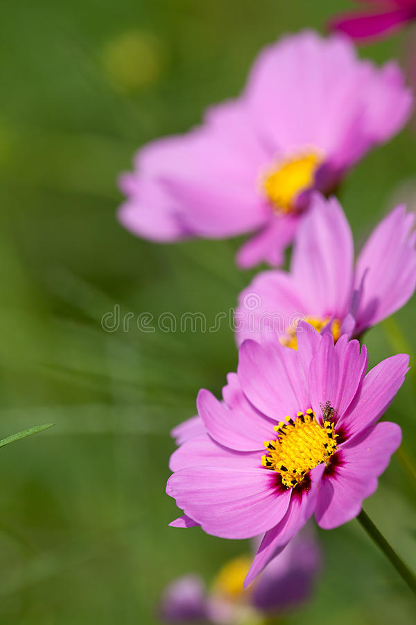 Detail Pink Chrysanthemum for background. Pink Chrysanthemum for background use stock photos