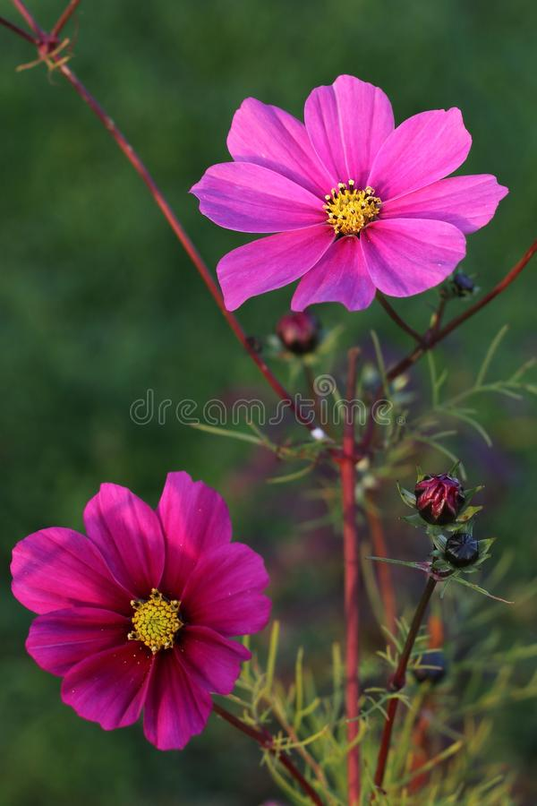 Cosmos bipinnatus - pink flower royalty free stock photo