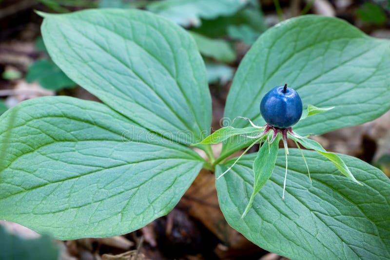 Detail of poisonous plant Paris quadrifolia known as herb-paris royalty free stock image