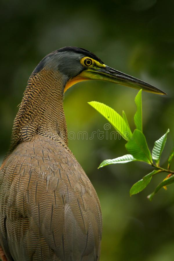 Detail portrait of beautiful heron. Bare-throated Tiger-Heron, Tigrisoma mexicanum, in nature green vegetation. Action wildlife sc. Detail portrait of beautiful royalty free stock images