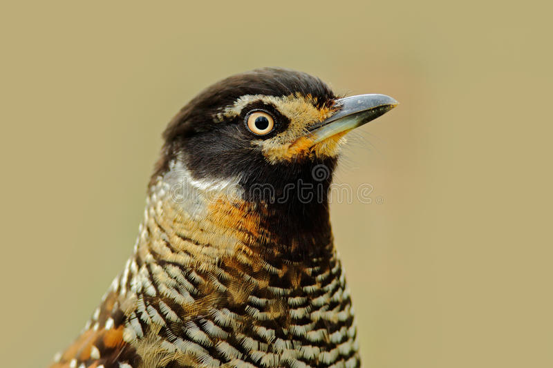 Detail portrait of bird, Spotted Laughingthrush, Garrulax ocellatus. Bird in the nature, close-up portrait. Bird from Bhutan, Chin. A, Asia stock photography