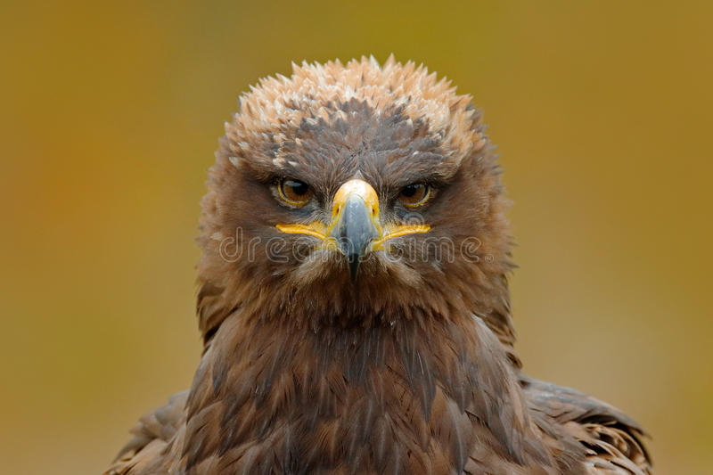 Detail portrait of eagle. Bird in the grass. Steppe Eagle, Aquila nipalensis, sitting in the grass on meadow, forest in background royalty free stock photos