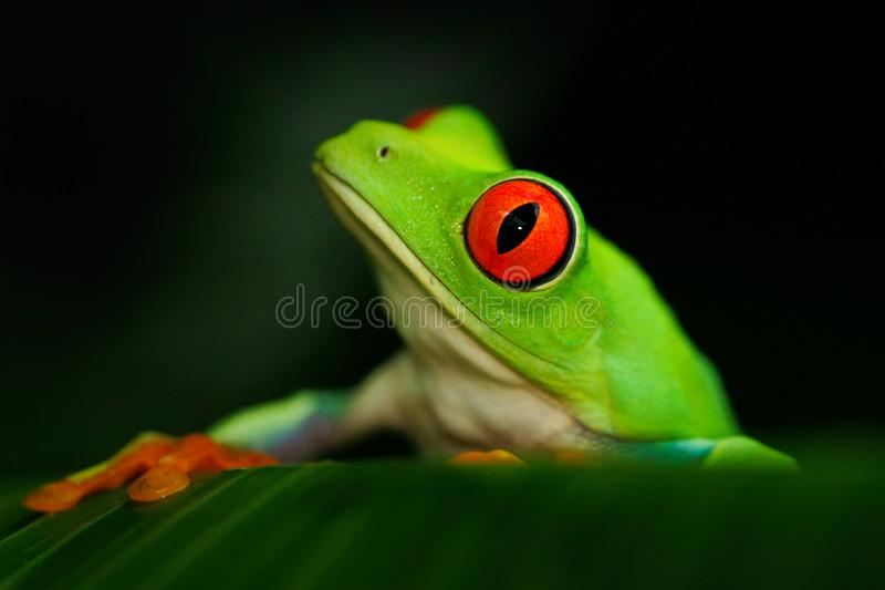 Detail portrait of frog with red eyes. Red-eyed Tree Frog, Agalychnis callidryas, in the nature habitat, Panama. Beautiful frog si. Detail portrait of frog with stock photography