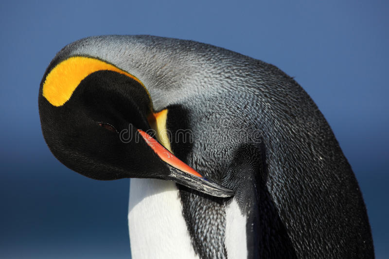 Detail portrait of king penguin cleaning plumage in Antartica royalty free stock image