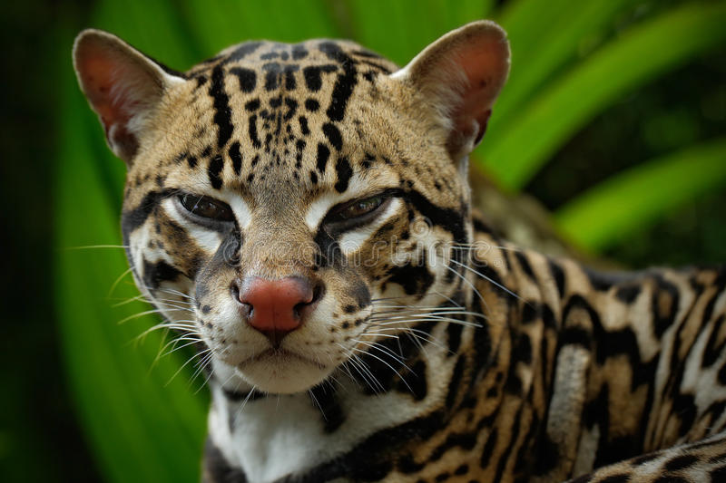 Detail portrait of ocelot, nice cat margay sitting on the branch in the costarican tropical forest, animal in the nature habitat stock images