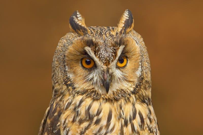 Long-eared Owl Sitting On Branch In Fallen Larch Forest